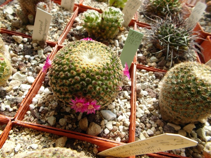Cacti and Sukkulent in Köln, every day new flowers in the greenhouse Part 52 Bild1095