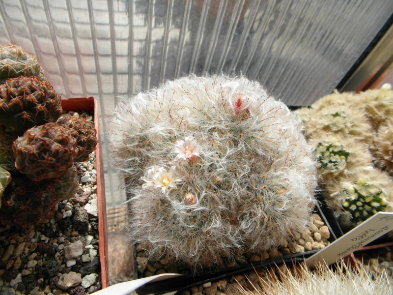 Cacti and Sukkulent in Köln, every day new flowers in the greenhouse Part 52 Bild1096