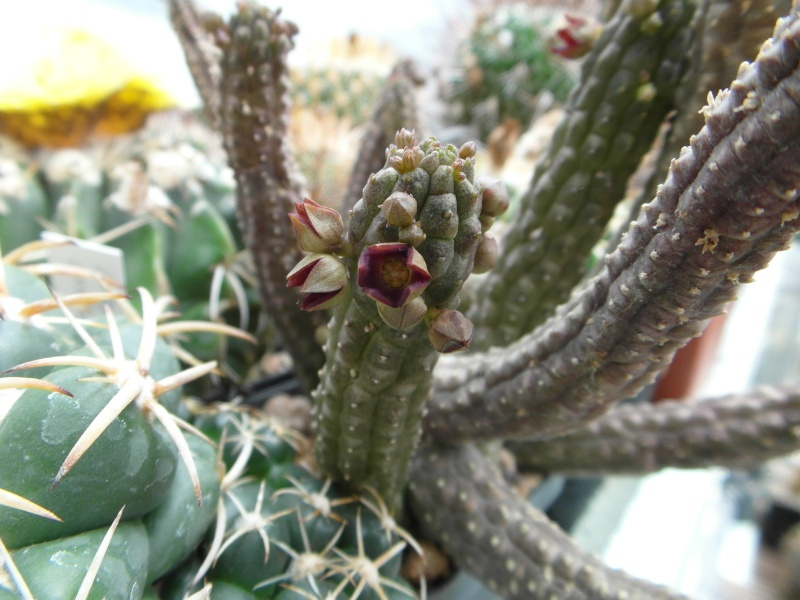 Cacti and Sukkulent in Köln, every day new flowers in the greenhouse Part 52 Bild1106