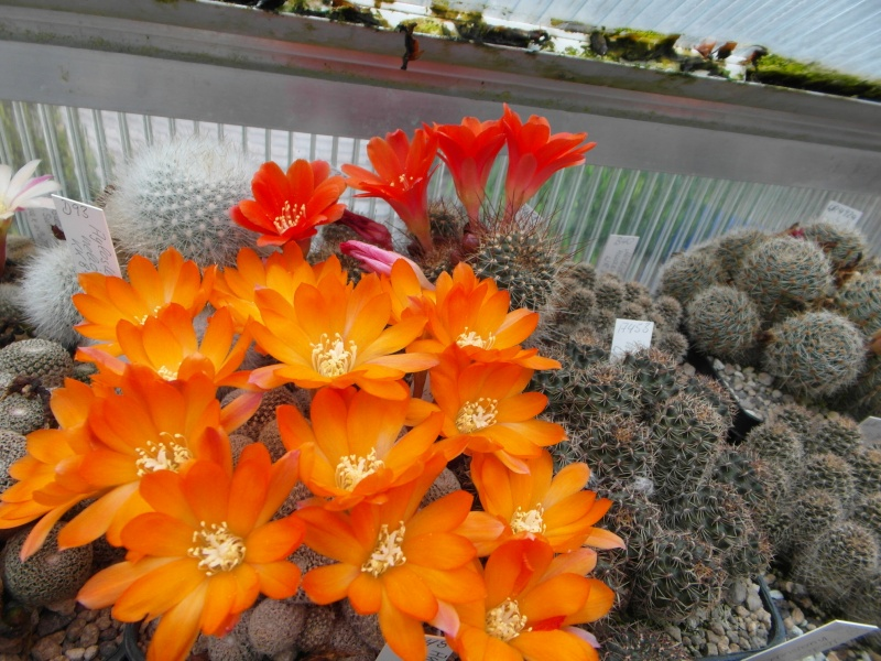 Cacti and Sukkulent in Köln, every day new flowers in the greenhouse Part 52 Bild1113
