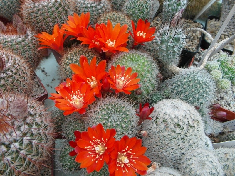 Cacti and Sukkulent in Köln, every day new flowers in the greenhouse Part 52 Bild1116