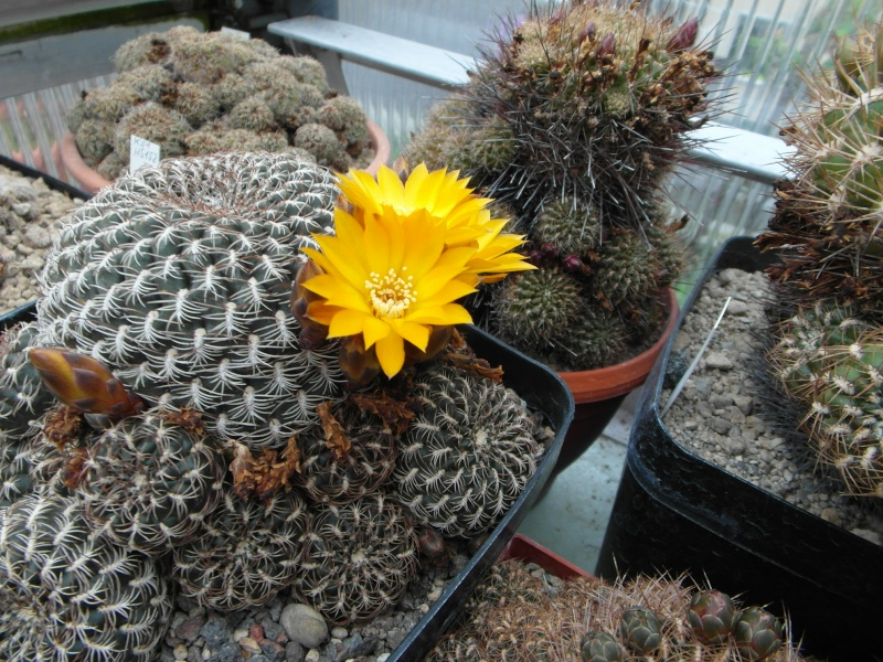 Cacti and Sukkulent in Köln, every day new flowers in the greenhouse Part 52 Bild1120