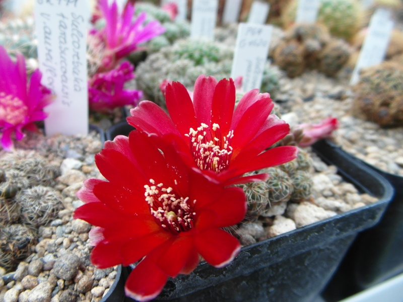 Cacti and Sukkulent in Köln, every day new flowers in the greenhouse Part 52 Bild1124
