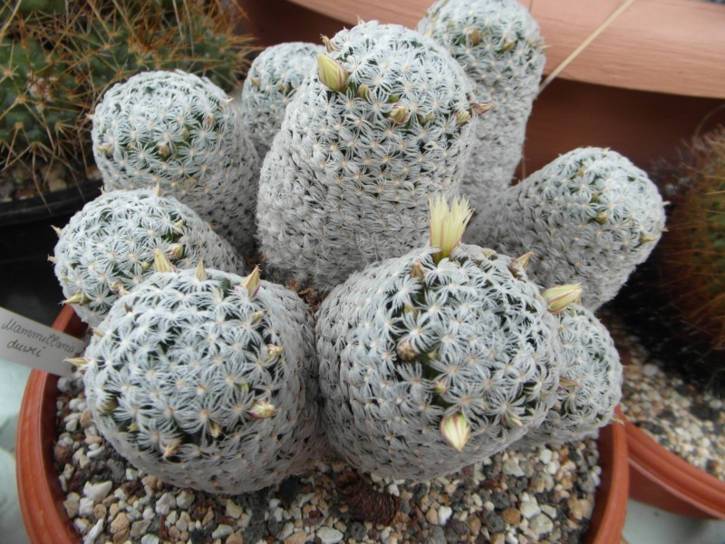 Cacti and Sukkulent in Köln, every day new flowers in the greenhouse Part 52 Bild1129