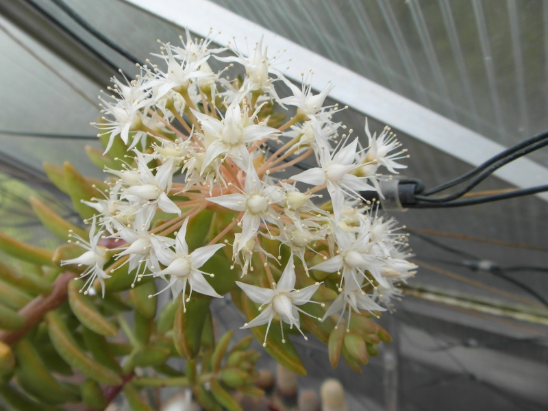Cacti and Sukkulent in Köln, every day new flowers in the greenhouse Part 52 Bild1139