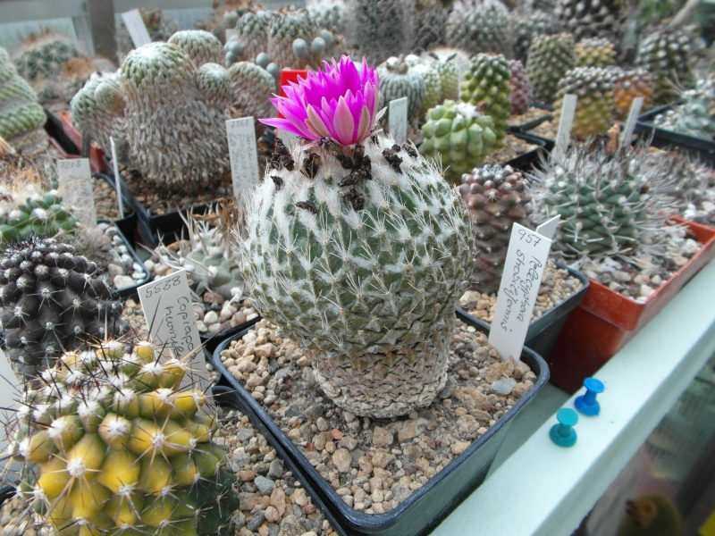 Cacti and Sukkulent in Köln, every day new flowers in the greenhouse Part 52 Bild1142