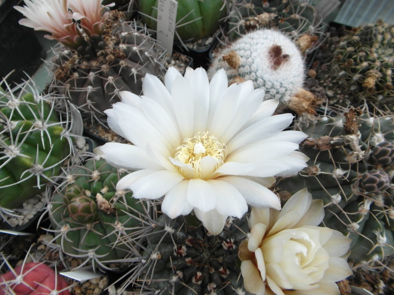 Cacti and Sukkulent in Köln, every day new flowers in the greenhouse Part 52 Bild1152