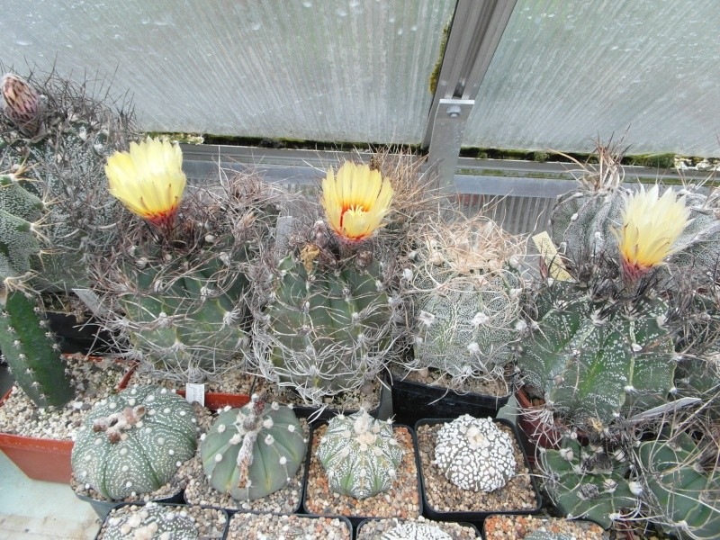 Cacti and Sukkulent in Köln, every day new flowers in the greenhouse Part 52 Bild1157
