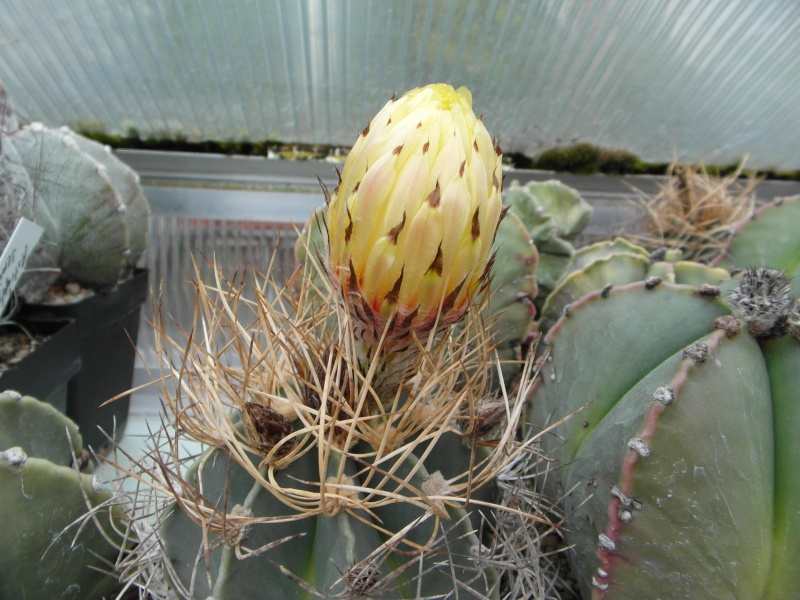 Cacti and Sukkulent in Köln, every day new flowers in the greenhouse Part 52 Bild1158