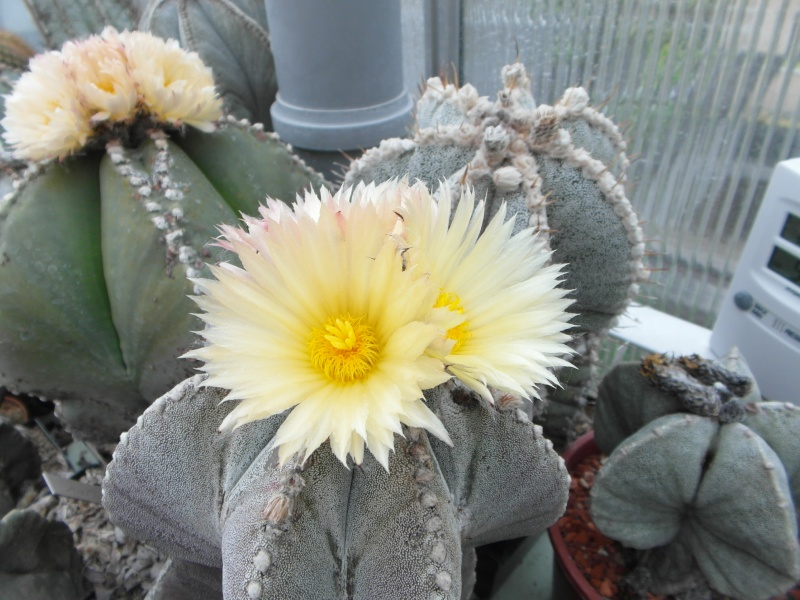Cacti and Sukkulent in Köln, every day new flowers in the greenhouse Part 52 Bild1160
