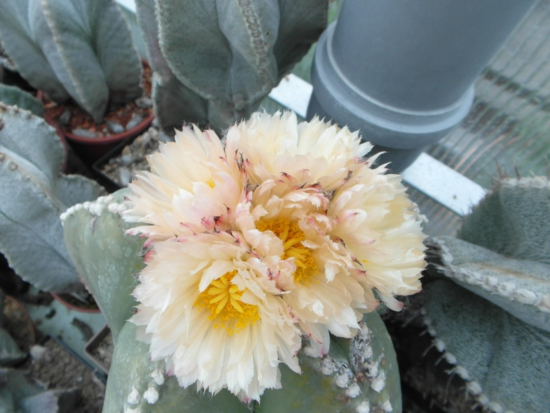 Cacti and Sukkulent in Köln, every day new flowers in the greenhouse Part 52 Bild1161