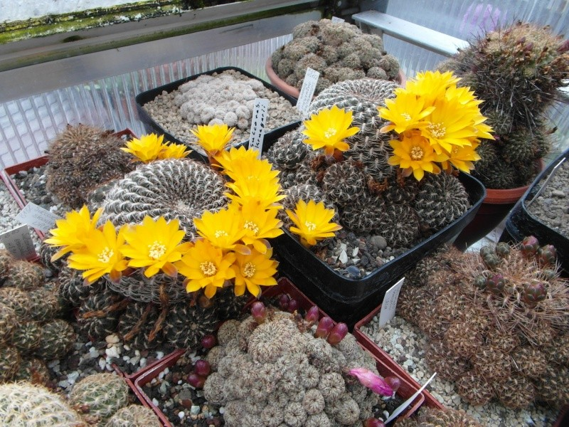 Cacti and Sukkulent in Köln, every day new flowers in the greenhouse Part 52 Bild1166