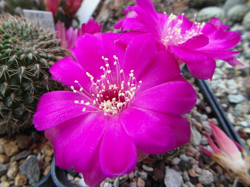 Cacti and Sukkulent in Köln, every day new flowers in the greenhouse Part 52 Bild1171