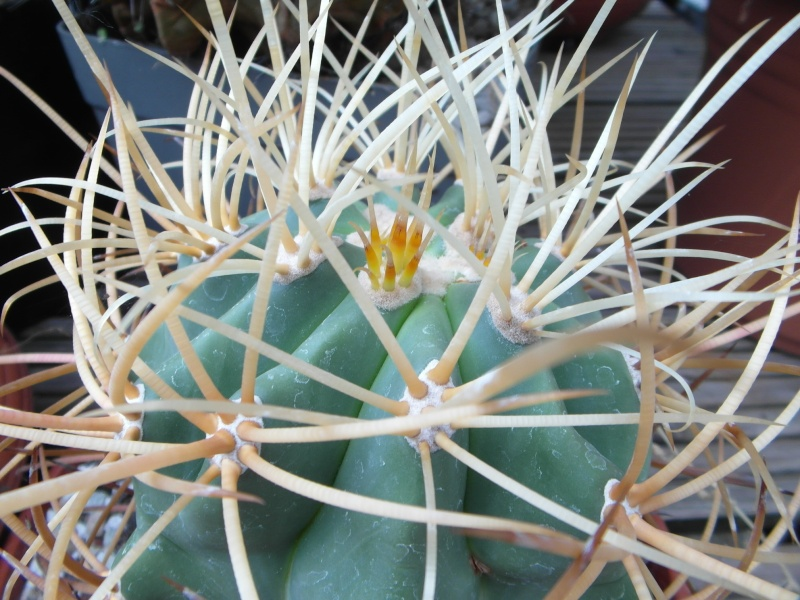 Cacti and Sukkulent in Köln, every day new flowers in the greenhouse Part 52 Bild1172