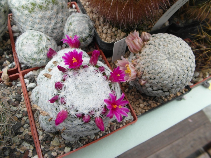 Cacti and Sukkulent in Köln, every day new flowers in the greenhouse Part 53 Bild1198