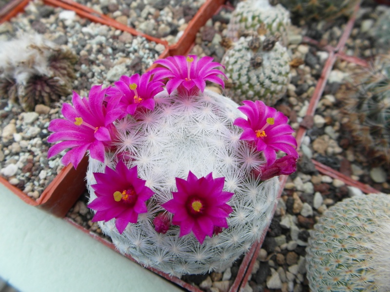 Cacti and Sukkulent in Köln, every day new flowers in the greenhouse Part 53 Bild1200