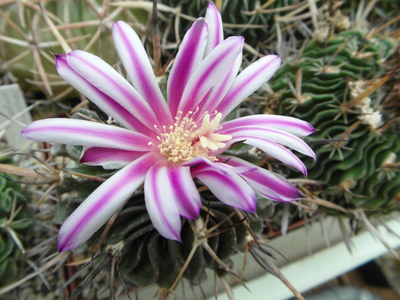 Cacti and Sukkulent in Köln, every day new flowers in the greenhouse Part 53 Bild1201