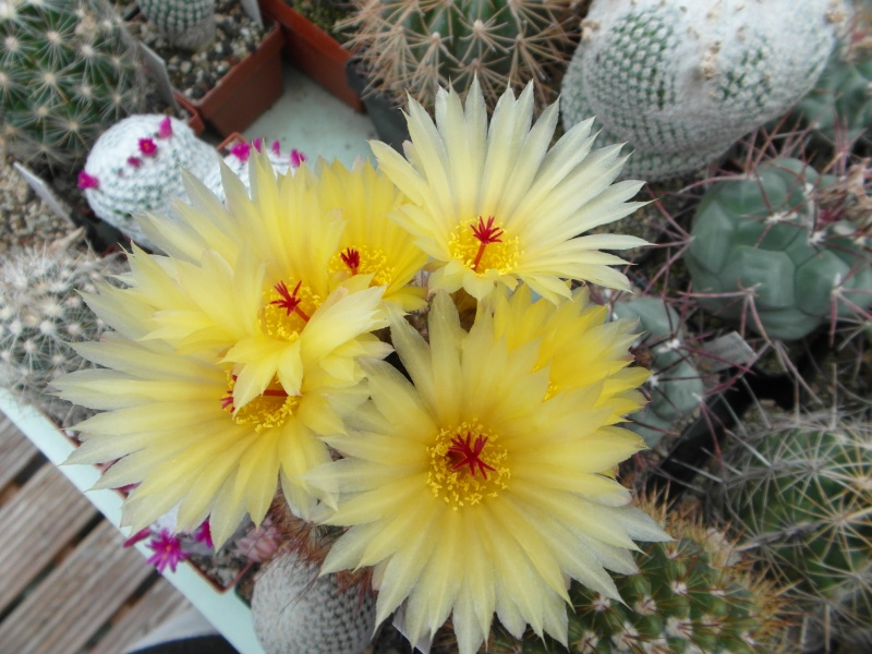 Cacti and Sukkulent in Köln, every day new flowers in the greenhouse Part 53 Bild1207