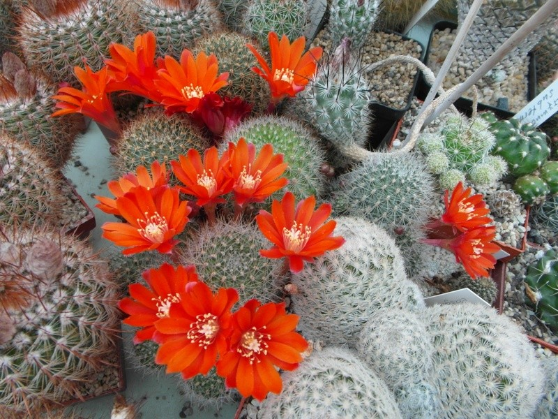 Cacti and Sukkulent in Köln, every day new flowers in the greenhouse Part 53 Bild1209