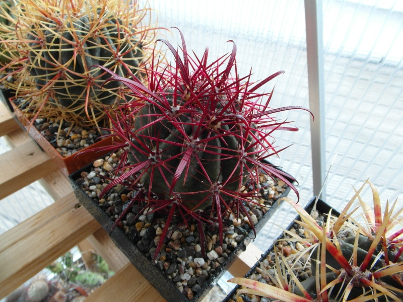 Cacti and Sukkulent in Köln, every day new flowers in the greenhouse Part 53 Bild1211
