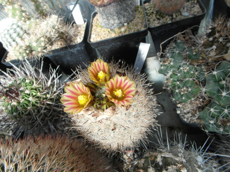 Cacti and Sukkulent in Köln, every day new flowers in the greenhouse Part 44 Bild_100