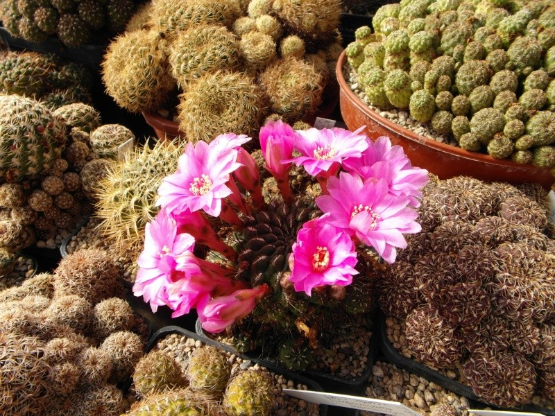 Cacti and Sukkulent in Köln, every day new flowers in the greenhouse Part 44 Bild_105