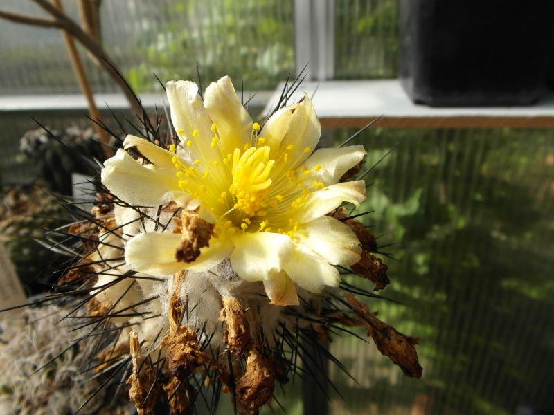Cacti and Sukkulent in Köln, every day new flowers in the greenhouse Part 44 Bild_107