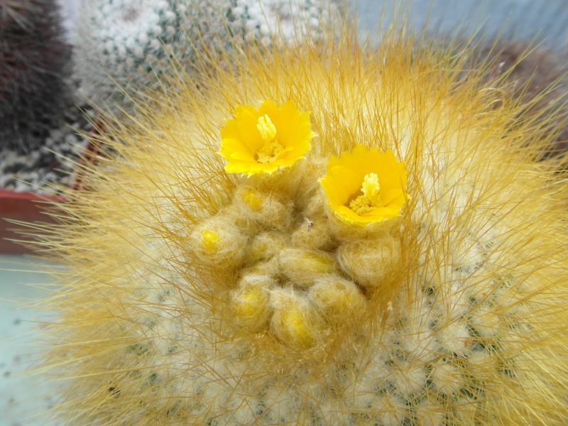 Cacti and Sukkulent in Köln, every day new flowers in the greenhouse Part 44 Bild_125