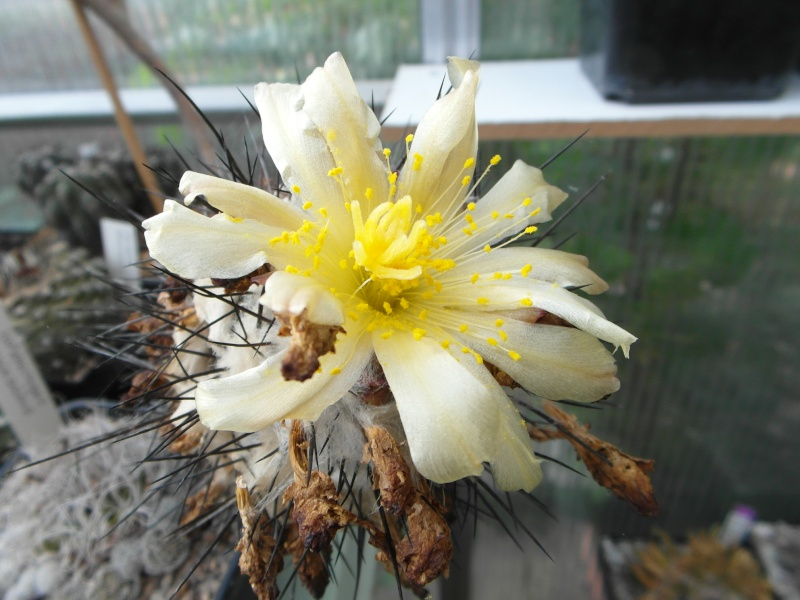 Cacti and Sukkulent in Köln, every day new flowers in the greenhouse Part 44 Bild_154