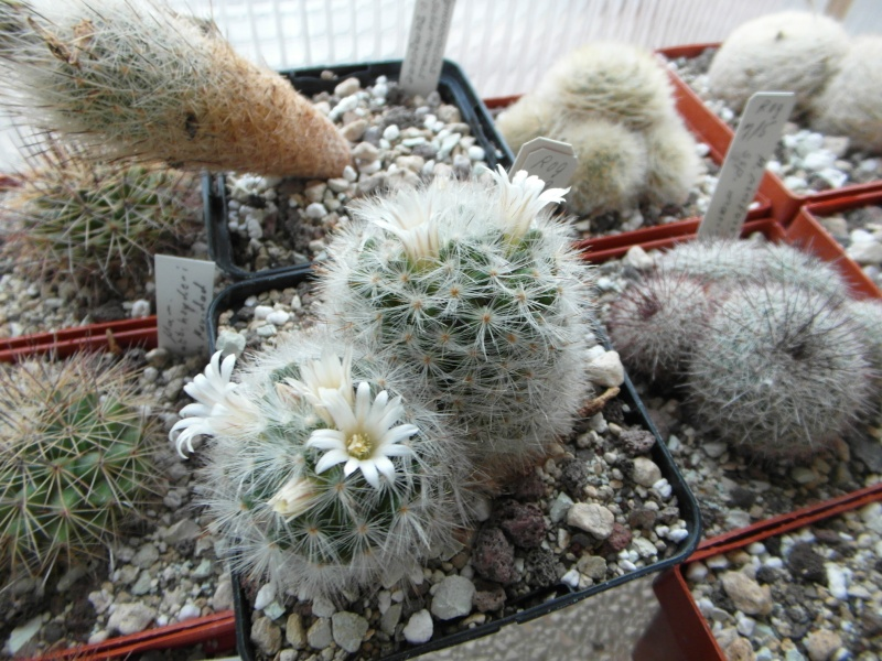 Cacti and Sukkulent in Köln, every day new flowers in the greenhouse Part 44 Bild_166