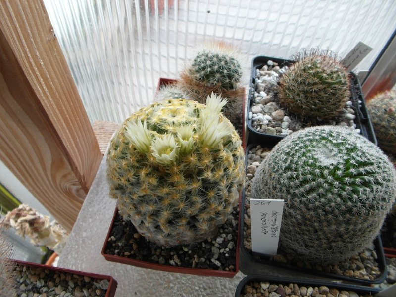 Cacti and Sukkulent in Köln, every day new flowers in the greenhouse Part 44 Bild_191