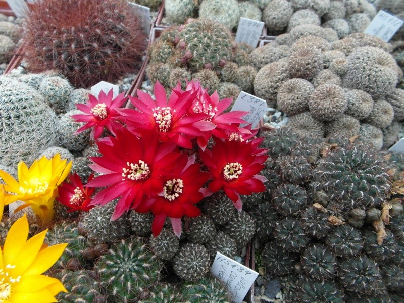 Cacti and Sukkulent in Köln, every day new flowers in the greenhouse Part 44 Bild_200