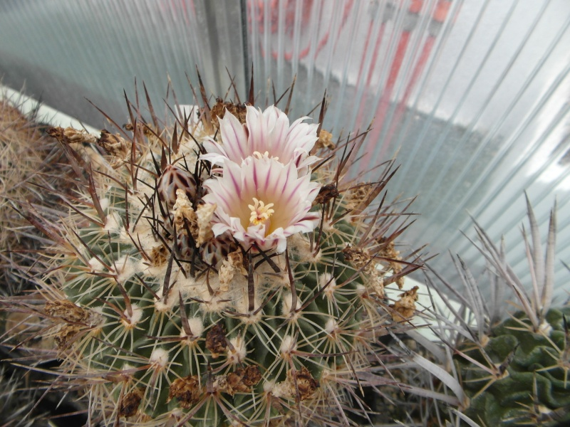 Cacti and Sukkulent in Köln, every day new flowers in the greenhouse Part 45 Bild_262
