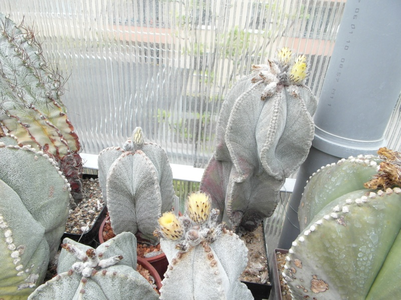 Cacti and Sukkulent in Köln, every day new flowers in the greenhouse Part 45 Bild_271