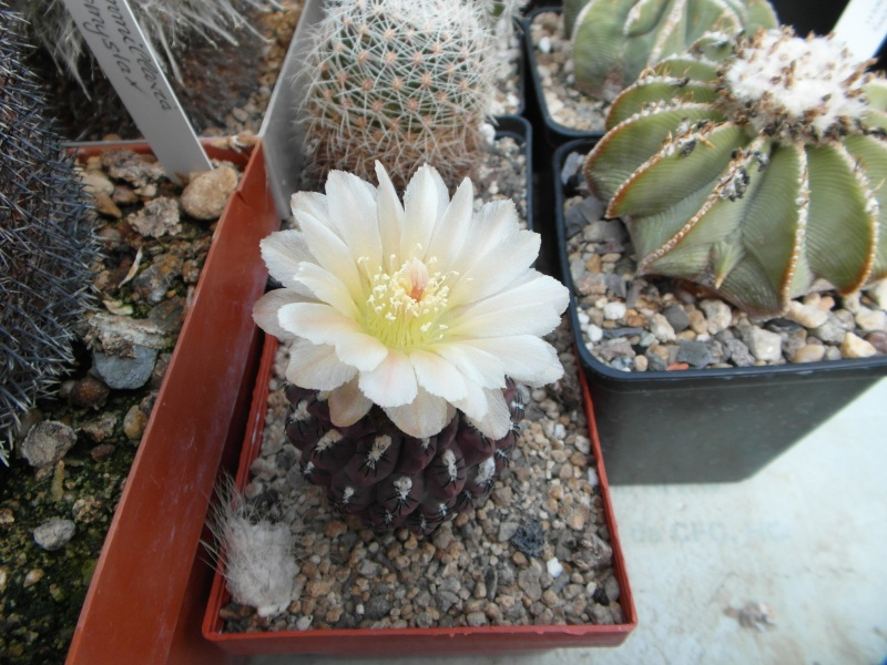 Cacti and Sukkulent in Köln, every day new flowers in the greenhouse Part 45 Bild_275