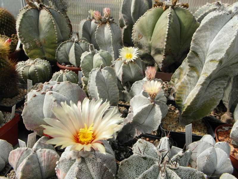 Cacti and Sukkulent in Köln, every day new flowers in the greenhouse Part 45 Bild_292