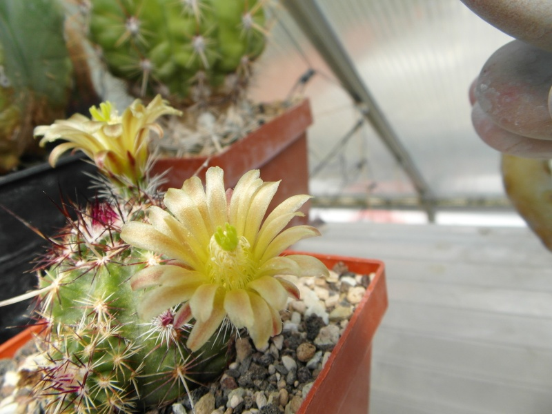 Cacti and Sukkulent in Köln, every day new flowers in the greenhouse Part 45 Bild_311