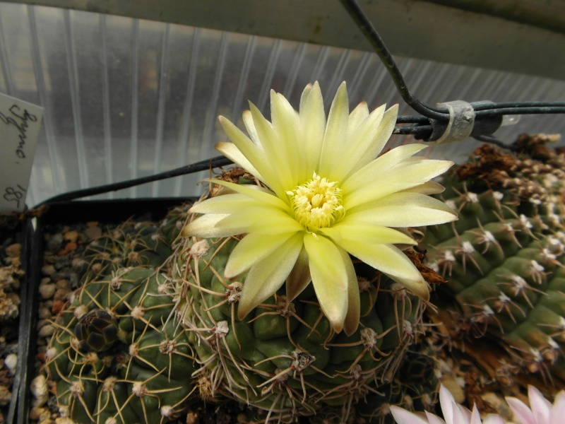 Cacti and Sukkulent in Köln, every day new flowers in the greenhouse Part 45 Bild_324
