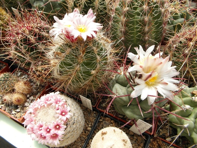 Cacti and Sukkulent in Köln, every day new flowers in the greenhouse Part 46 Bild_329