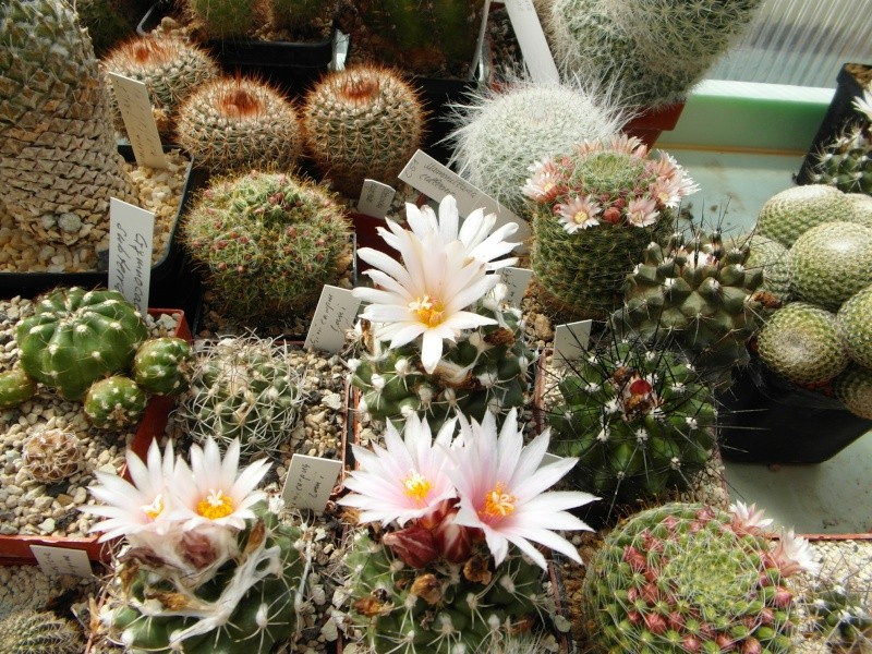 Cacti and Sukkulent in Köln, every day new flowers in the greenhouse Part 46 Bild_331