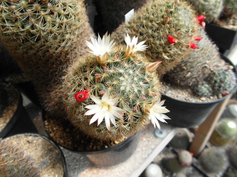 Cacti and Sukkulent in Köln, every day new flowers in the greenhouse Part 46 Bild_339