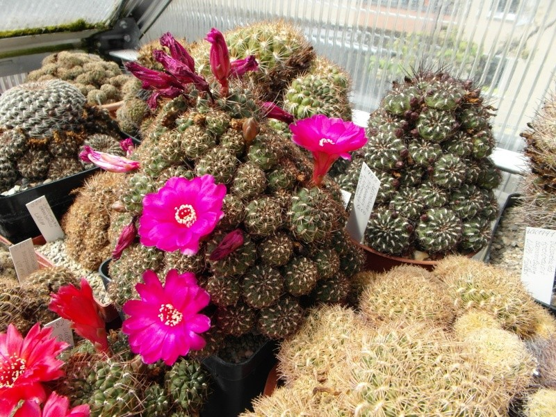 Cacti and Sukkulent in Köln, every day new flowers in the greenhouse Part 46 Bild_353
