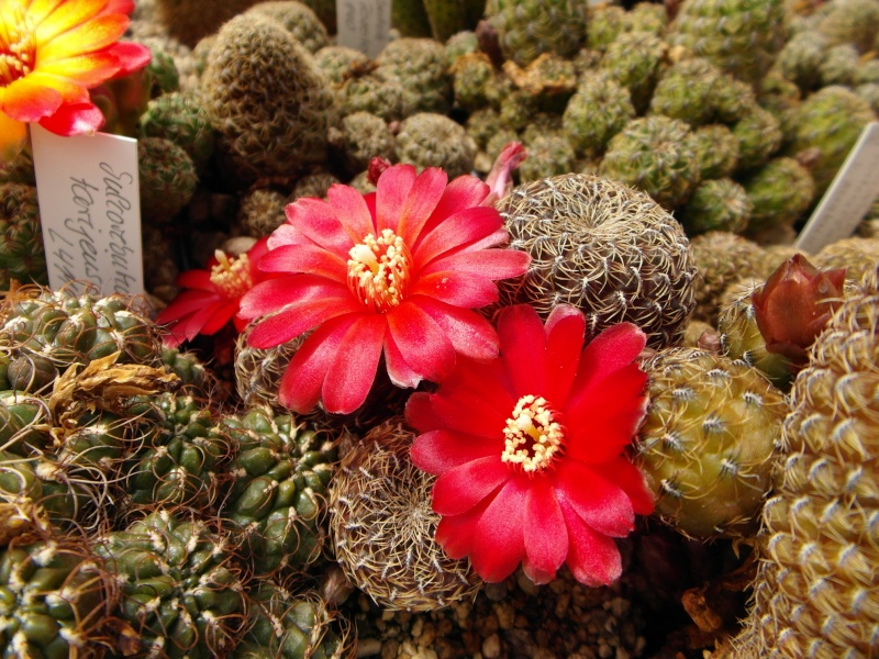 Cacti and Sukkulent in Köln, every day new flowers in the greenhouse Part 46 Bild_354