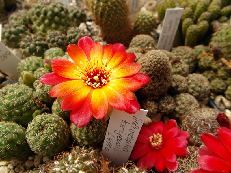Cacti and Sukkulent in Köln, every day new flowers in the greenhouse Part 46 Bild_355
