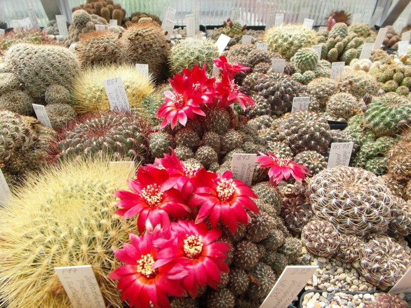 Cacti and Sukkulent in Köln, every day new flowers in the greenhouse Part 46 Bild_356