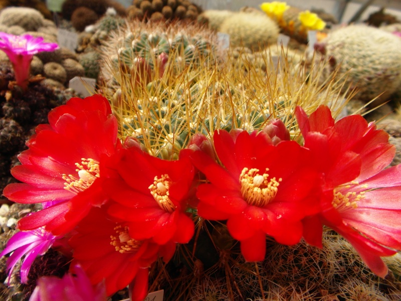 Cacti and Sukkulent in Köln, every day new flowers in the greenhouse Part 46 Bild_358