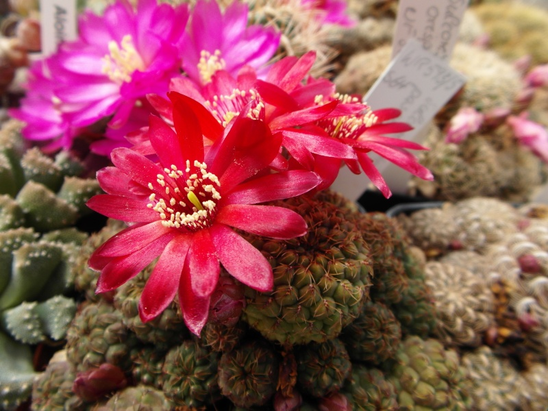 Cacti and Sukkulent in Köln, every day new flowers in the greenhouse Part 46 Bild_364