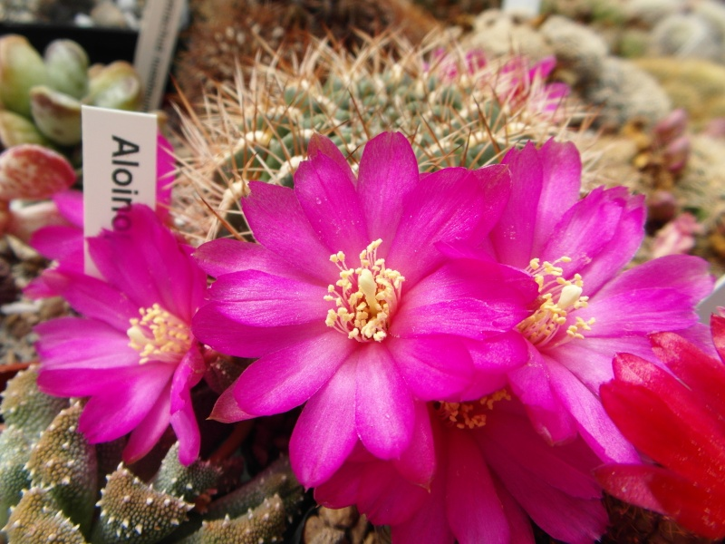 Cacti and Sukkulent in Köln, every day new flowers in the greenhouse Part 46 Bild_365