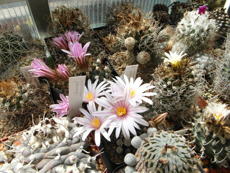 Cacti and Sukkulent in Köln, every day new flowers in the greenhouse Part 46 Bild_372