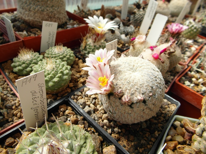 Cacti and Sukkulent in Köln, every day new flowers in the greenhouse Part 46 Bild_377